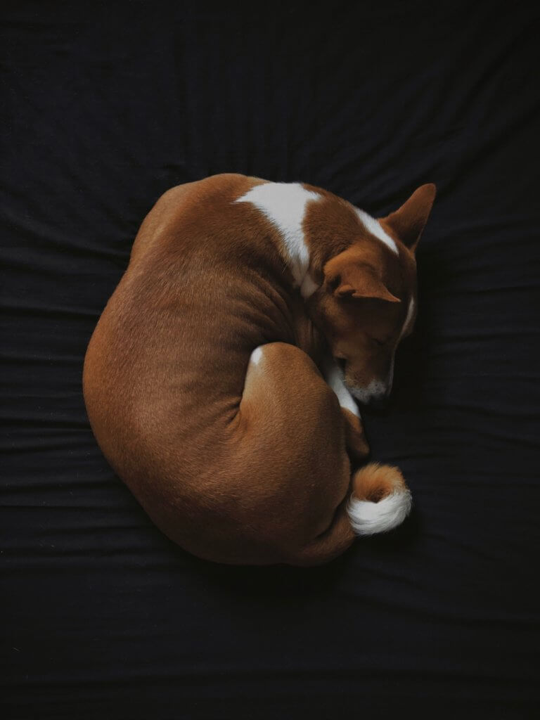 Basenji_dog_sleeping.jpeg