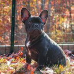 french_bulldog_in_yard.jpeg