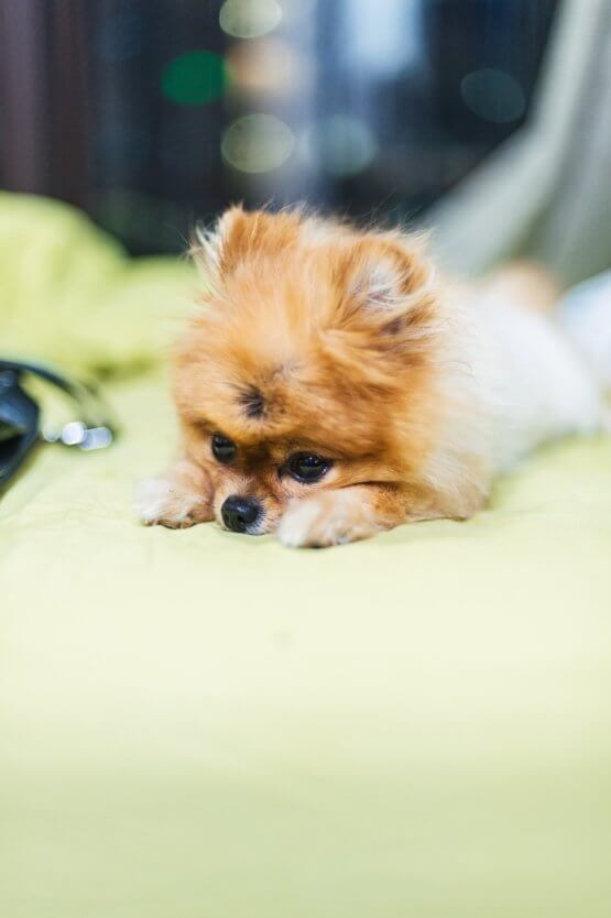 pomeranian_dog_on_bed.jpeg