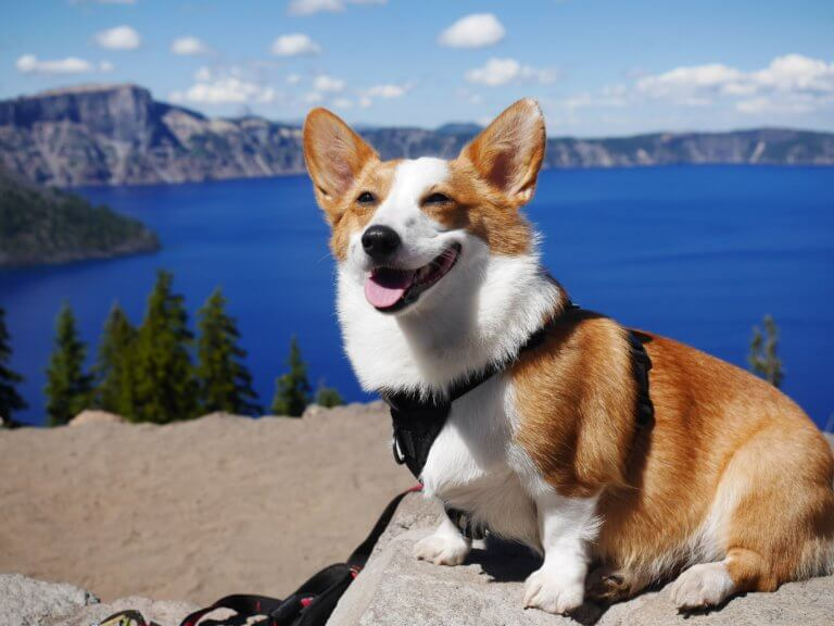 corgi_walk.jpeg