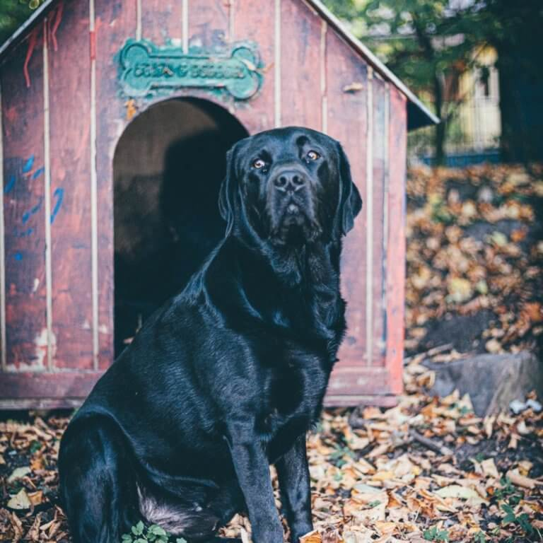labrador_near_dog_house.jpeg