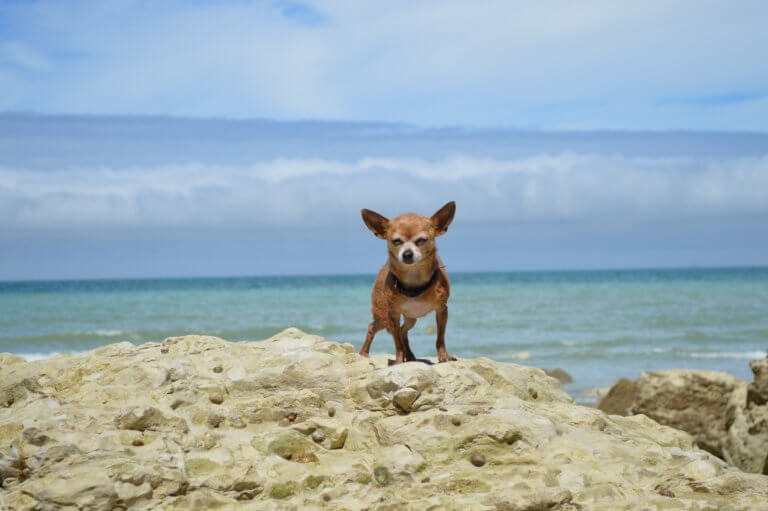 Chihuahua_in_sea.jpeg