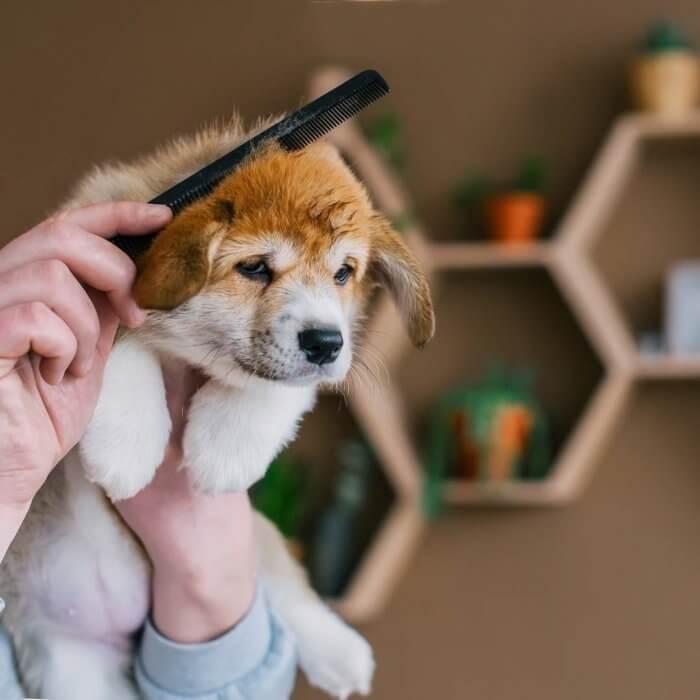corgi_puppy_grooming.jpeg