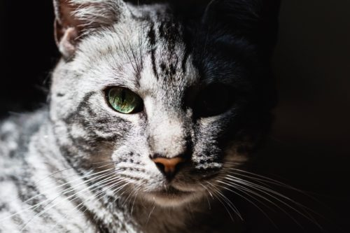adult_male_cat.jpeg