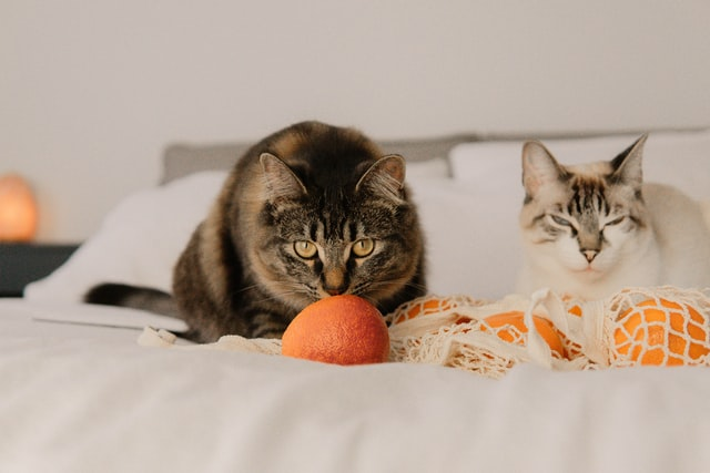cat_and_tangerines_on_bed.jpeg